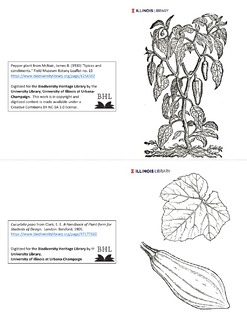 Pepper plant and Cucurbita pepo leaf and fruit illustrations