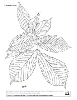 Ulmus glabra illustration