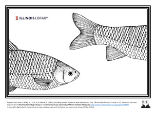drawing of fish, triploid grass carp