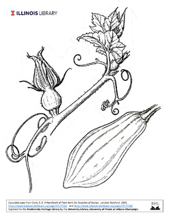 Drawing of Cucurbita pepo vine and fruit