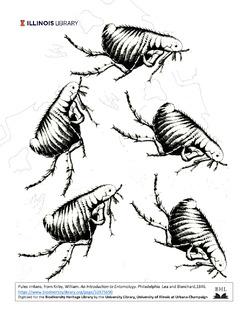 Jumping fleas, Pulex irritans